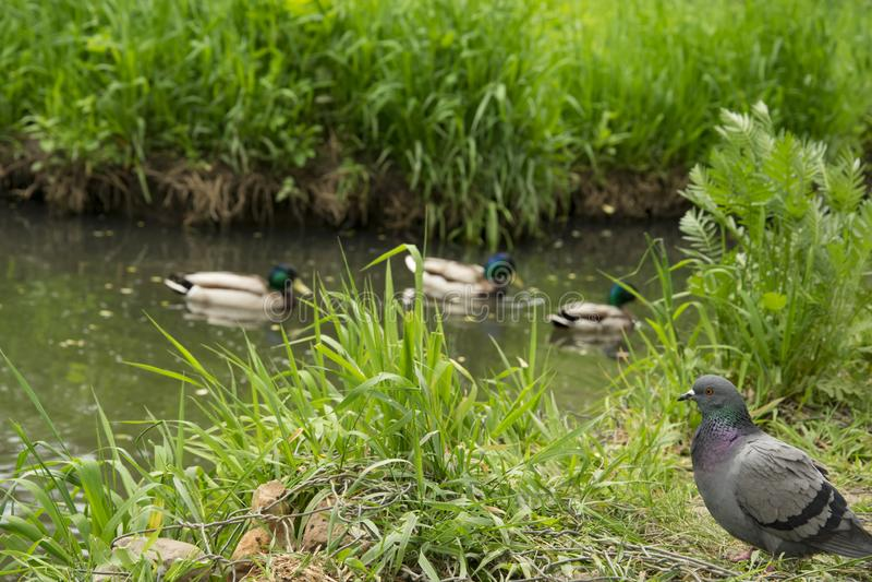 Ландшафт лета, парк, серые утки на пруде стоковые фотографии rf