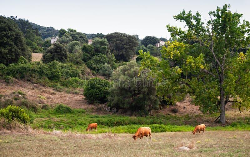 Ландшафт лета с коровами Filitosa стоковая фотография rf