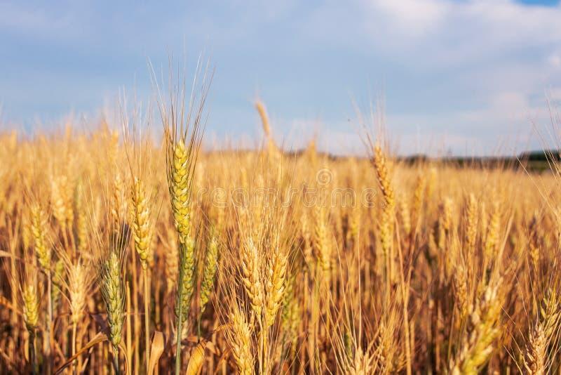 Ландшафт лета с пшеничным полем и небом стоковое фото rf