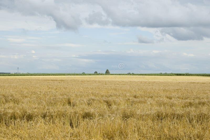Ландшафт лета с grainfield и голубым облачным небом стоковое фото