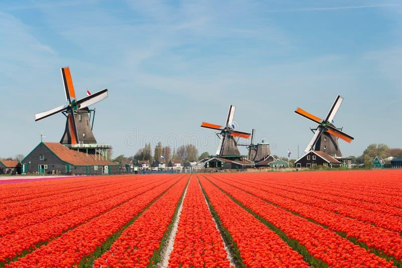 Ландшафт нидерландского букета тюльпанов и ветрянок в стоковые изображения rf