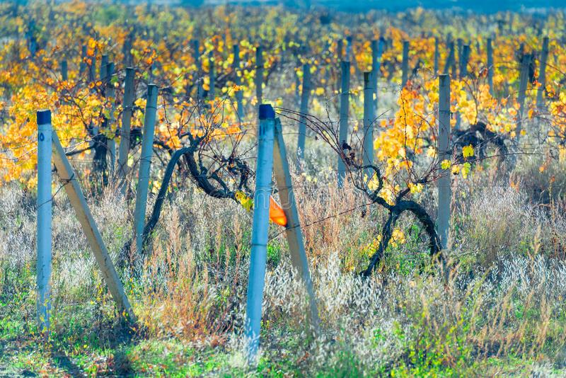 ландшафт осени - виноградник bushes плантация стоковая фотография rf