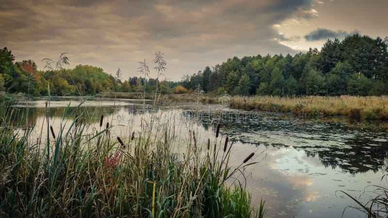 ландшафт осени красивейший взгляд болотистого озера через прибрежные тростники в пасмурной погоде стоковое изображение rf