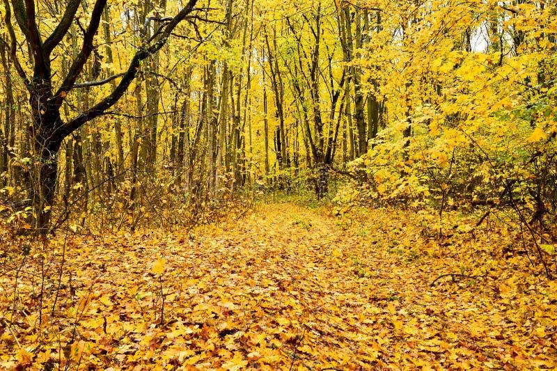 Ландшафт осени на дороге леса: деревья во время падения лист Предпосылка золотой осени стоковое изображение rf