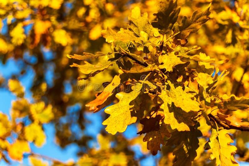 Ландшафт осени Leafes дуба осени, запачканная предпосылка Экологическая предпосылка - листья дуба и яркое солнце стоковое изображение rf
