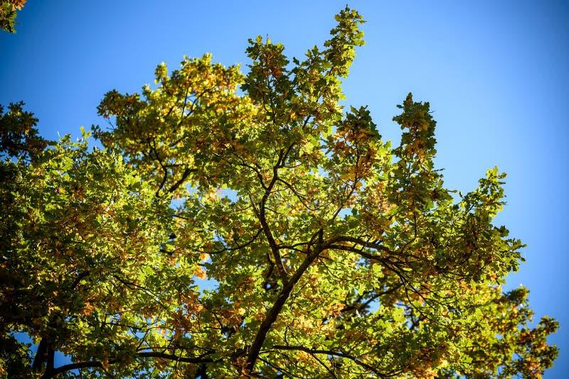 Ландшафт осени Leafes дуба осени, очень отмелый фокус Широкий формат панорамы стоковое изображение rf