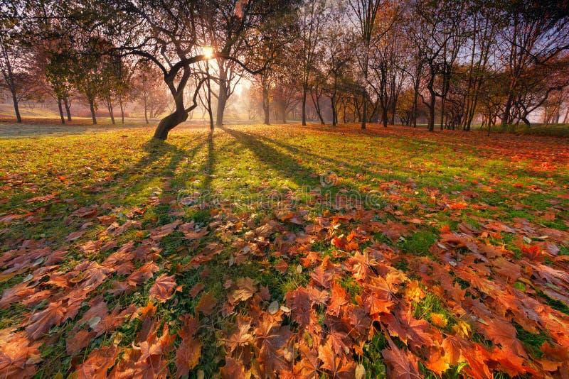 Ландшафт парка осени солнечный с красивым изогнутым силуэтом дерева, теней на том основании и много красной и желтой падая карты стоковая фотография rf