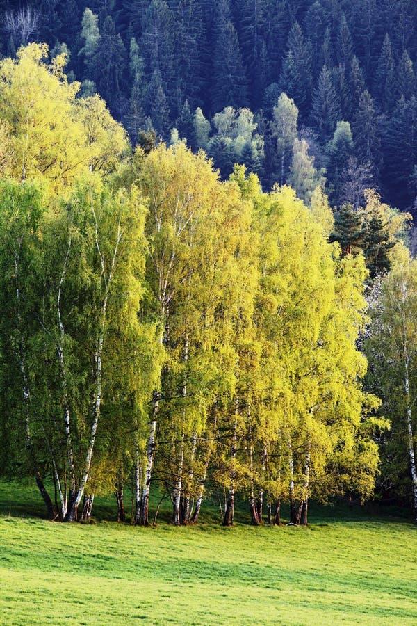 Ландшафт пейзажа осени, красивый лес панорамы с травой солнечного света вечера, желтых и зеленых, солнечностью, окружающей средой стоковые фотографии rf