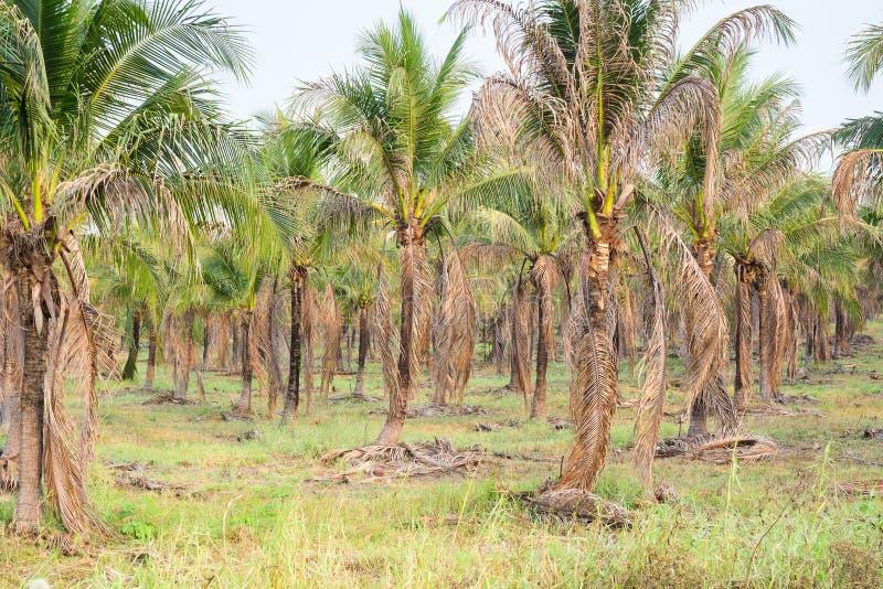 ландшафт плантации ладони кокоса в тропической стране стоковое фото