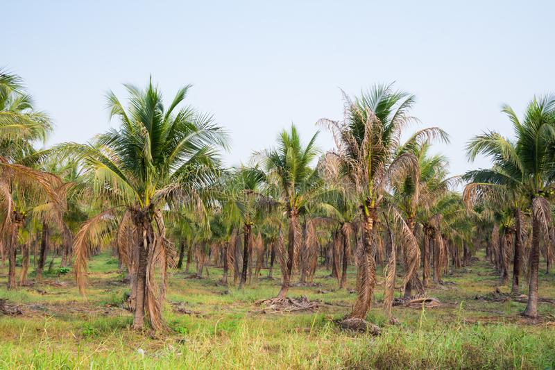 ландшафт плантации ладони кокоса в тропической стране стоковые фотографии rf