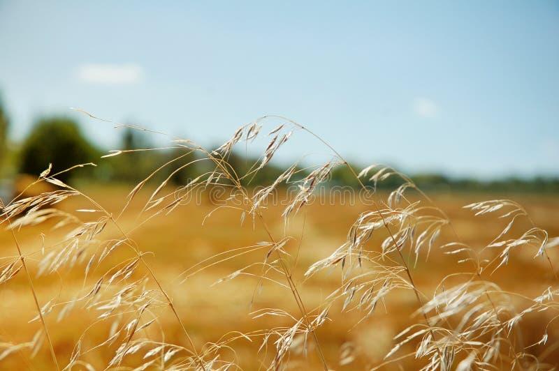 Download ландшафт поля зрея сельская пшеница Стоковое Фото - изображение насчитывающей урожаи, конец: 6858326