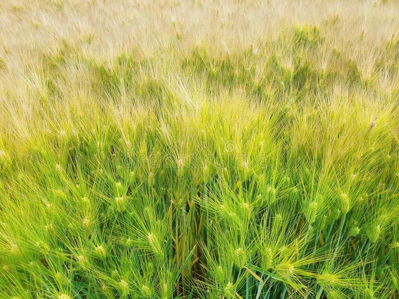 Ландшафт поля ячменя изменяя на золотое стоковое фото