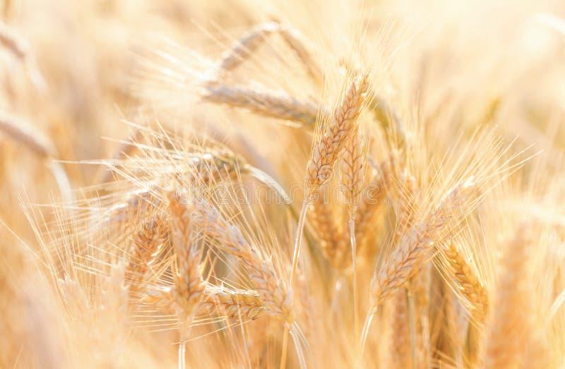 Ландшафт природы сцены земледелия Красивое поле хлопьев со зрелыми органическими ушами рож во время сбора в солнечном свете стоковые фото