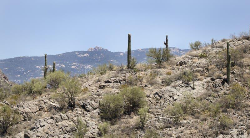 Ландшафт пустыни кактуса Saguaro, Аризона США стоковые фотографии rf
