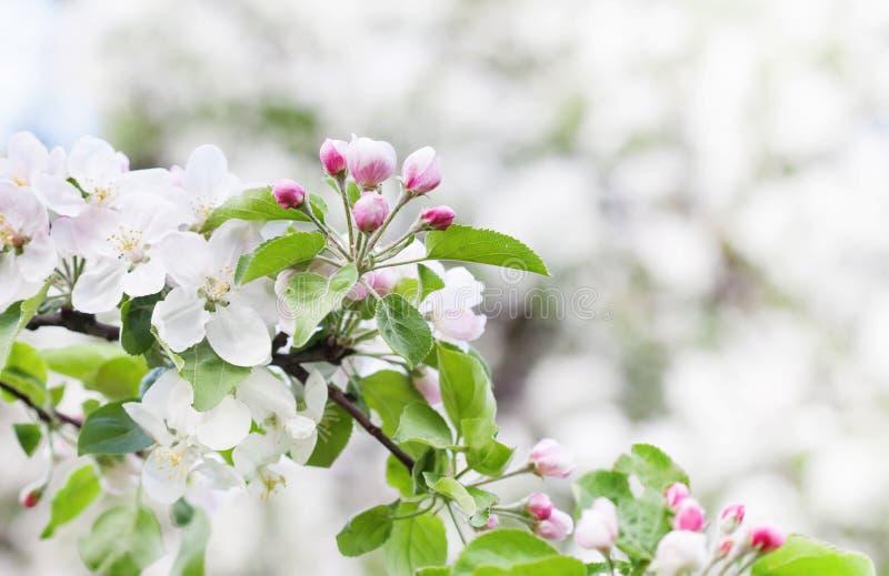 Ландшафт сада солнечного дня времени весны цветения Яблока Цвести белая розовая ветвь фруктового дерева лепестков, запачканное пр стоковое изображение