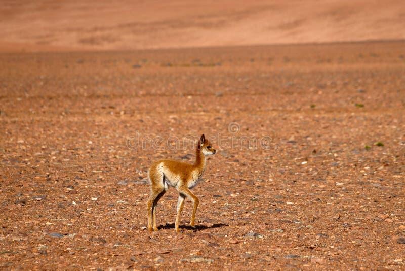 Ландшафт северной Чили с викуньей младенца в гористых местностях пустыни северной Чили, пустыни Atacama, Чили стоковое фото rf