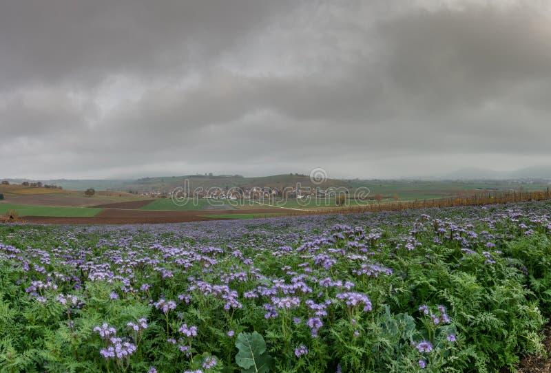Ландшафт сельской местности в Швейцарии с пурпурными полями wildflower и красочной деревне поля фермы и идилличных в холмистых зе стоковое изображение