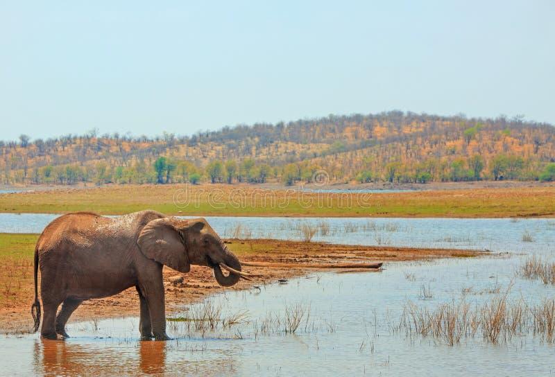Ландшафт сиротливого африканского слона принимая напиток от озера Kariba со сценарным фоном горы, Зимбабве стоковые фотографии rf