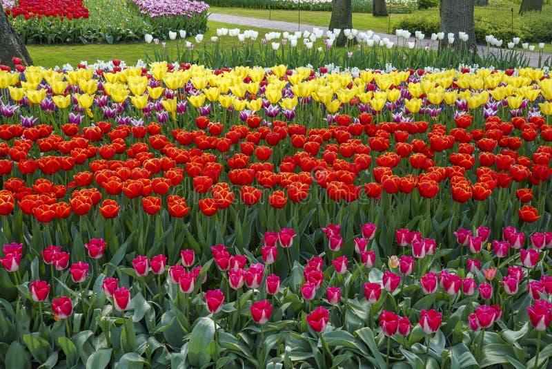 Ландшафт со строками тюльпанов во всех видах цветов стоковое изображение