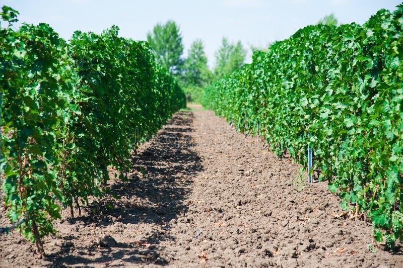 Ландшафт с виноградниками осени стоковые фото