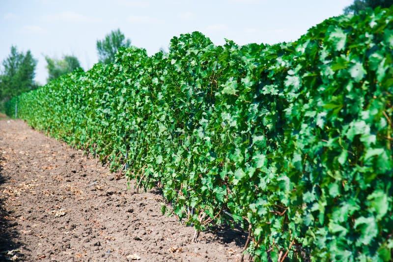 Ландшафт с виноградниками осени стоковое изображение