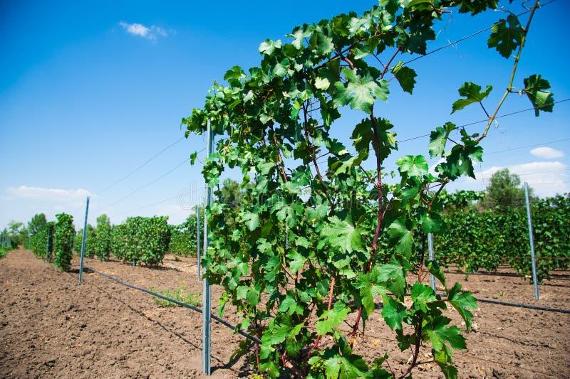 Ландшафт с виноградниками осени стоковая фотография rf