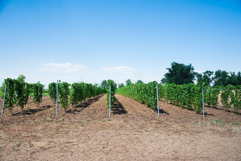 Ландшафт с виноградниками осени стоковое изображение rf