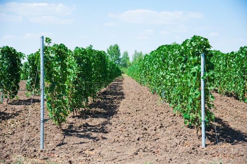 Ландшафт с виноградниками осени стоковая фотография