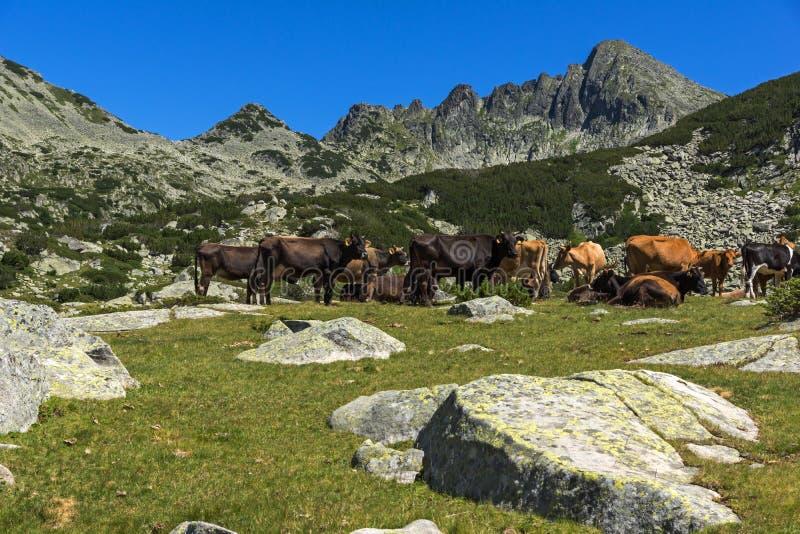 Ландшафт с пиком и коровами Dzhangal на зеленых лугах, горе Pirin, Болгарии стоковая фотография rf