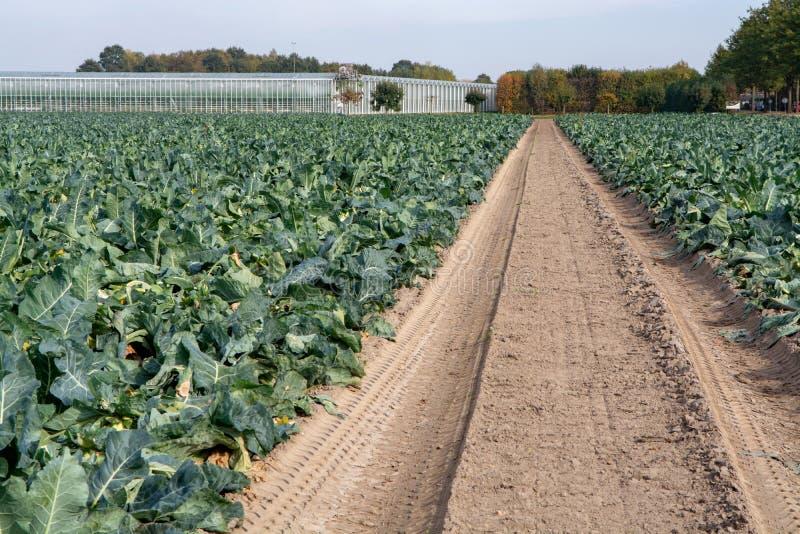 Ландшафт с полем фермы вполне зрелого зеленого брокколи Romanesco стоковая фотография