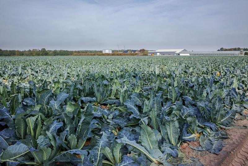 Ландшафт с полем фермы вполне зрелого зеленого брокколи Romanesco стоковые изображения rf