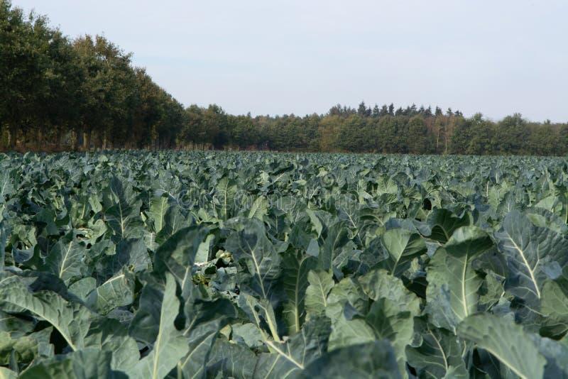Ландшафт с полем фермы вполне зрелого зеленого брокколи Romanesco стоковые фото