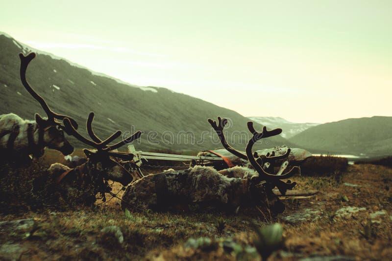 Ландшафт Урала Ландшафт России горы ural reindeer стоковые изображения