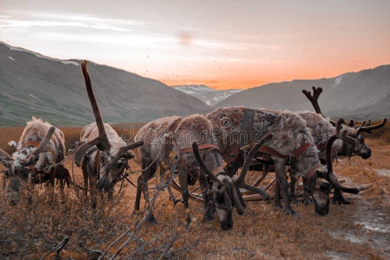 Ландшафт Урала Ландшафт России горы ural reindeer стоковое фото