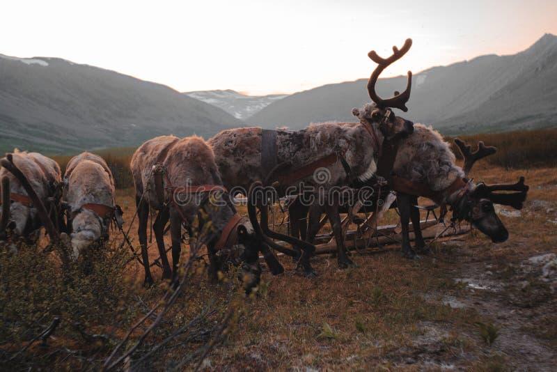 Ландшафт Урала Ландшафт России горы ural reindeer стоковые фотографии rf