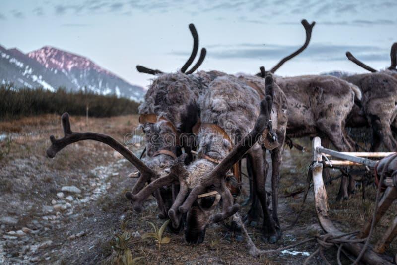 Ландшафт Урала Ландшафт России горы ural reindeer стоковое изображение