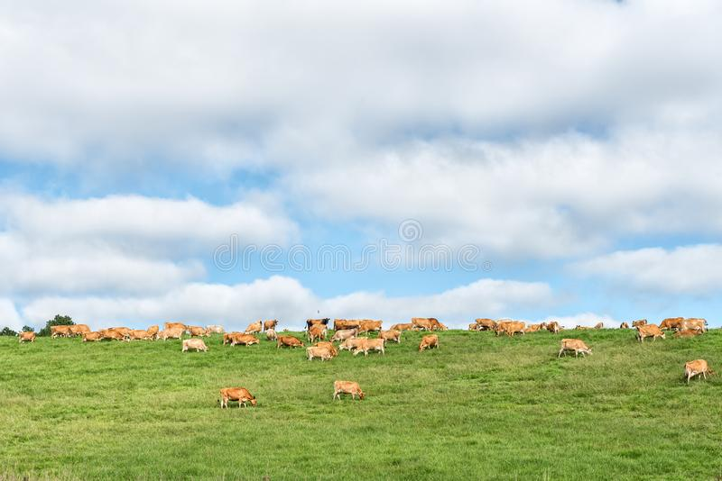 Ландшафт фермы с коровами на P317-road стоковые фотографии rf