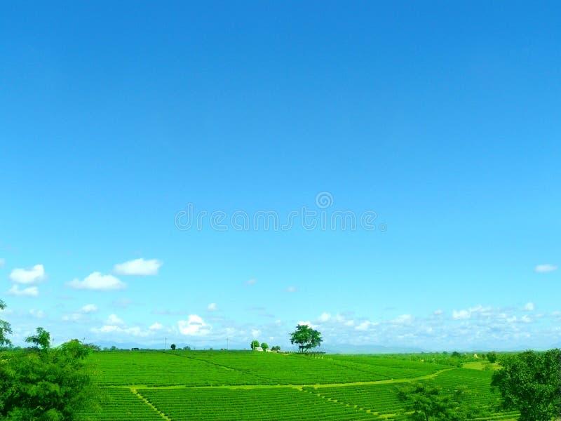 Ландшафт фермы ясно зеленого чая стоковые изображения