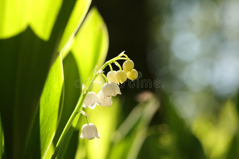 Ландыш в лесе на sunnny утре весны стоковое фото