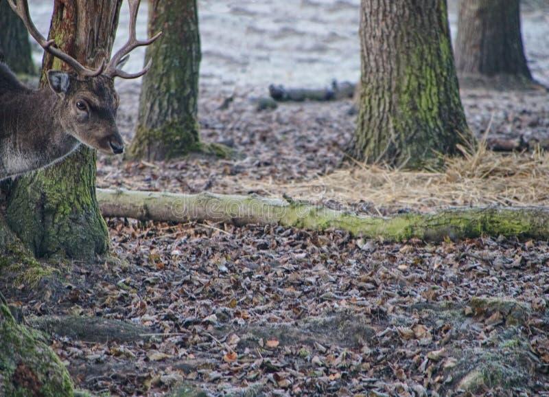 Лани питаясь в лесе в падении стоковые изображения rf
