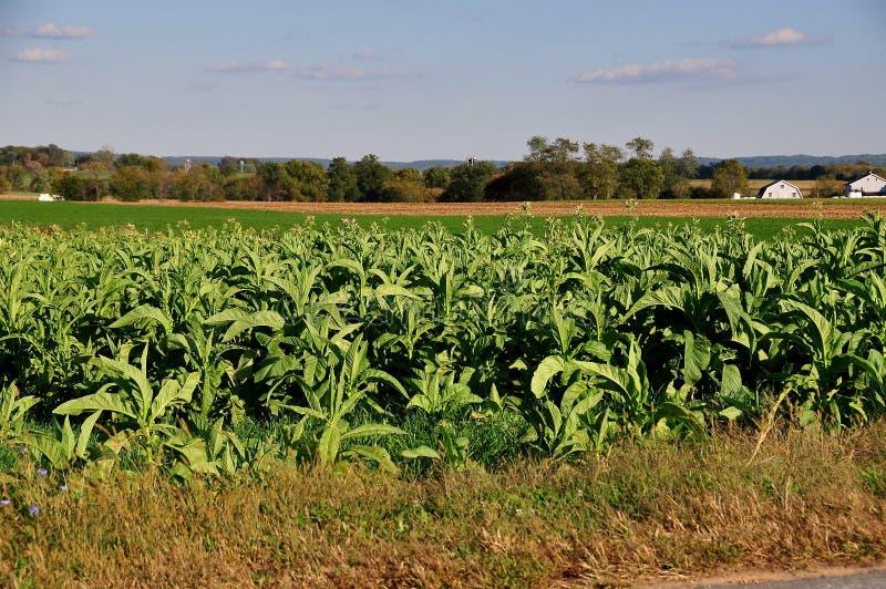 Ланкастер, Пенсильвания: Поле заводов табака стоковое изображение
