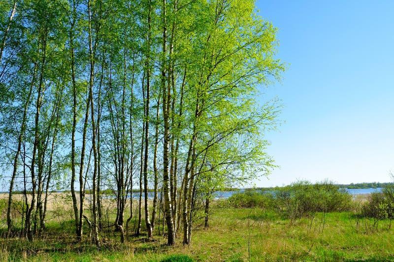 Ландшафт весны - лес березы на дне стороны реки весной славном солнечном стоковые фото