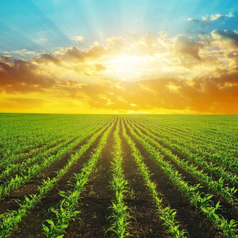 Ландшафт весны сельский с зеленым кукурузным полем стоковое изображение rf