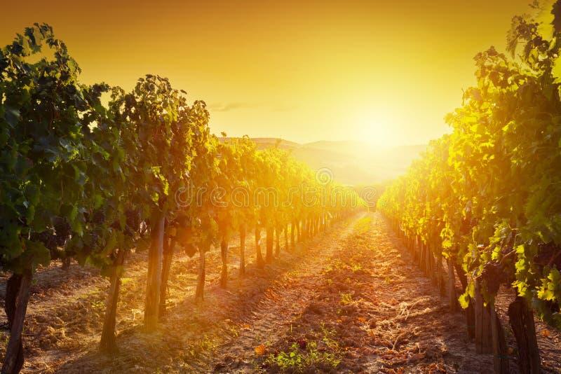 Ландшафт виноградника в Тоскане, Италии Ферма вина на заходе солнца стоковое фото
