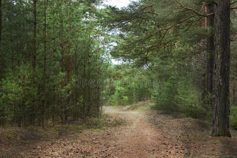 Ландшафт в сосновом лесе стоковые фото