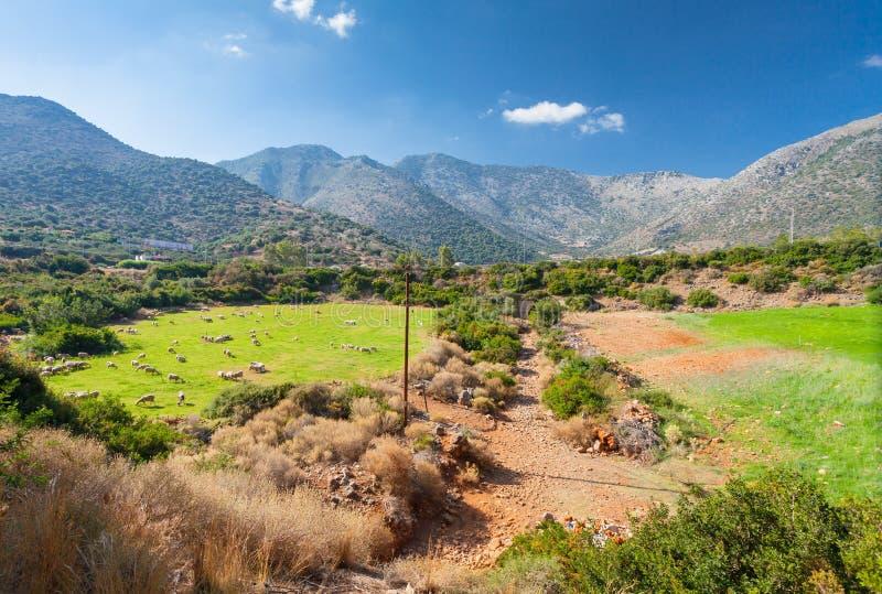 Ландшафт Греции сельский: стадо овец на злаковиках в долине и горах стоковые фотографии rf