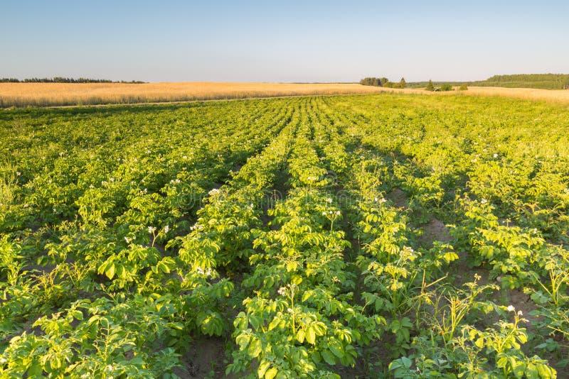 Ландшафт лета поля potatoe в свете захода солнца стоковая фотография