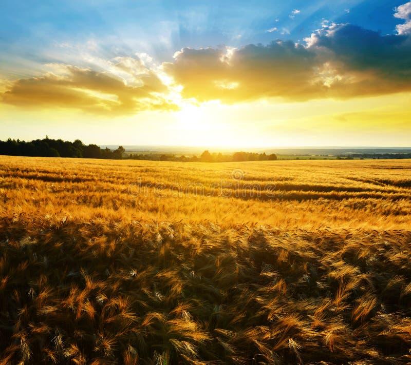 Ландшафт лета сельский с золотым ячменем на поле стоковое фото