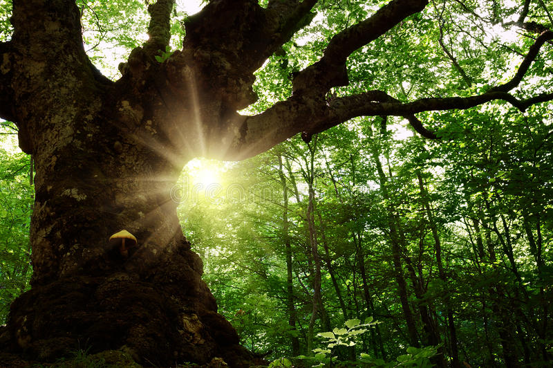 Старое дерево в пуще стоковые фото
