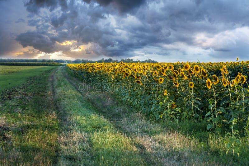 Ландшафт захода солнца на поле солнцецвета с бурными облаками в backgr стоковые изображения rf